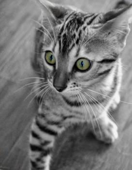 Kitten Domestic cat Cat #155847