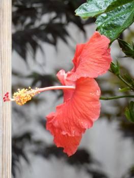Maple Ornamental Flower Free Photo