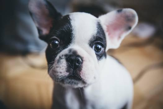 French bulldog Bulldog Dog #15598