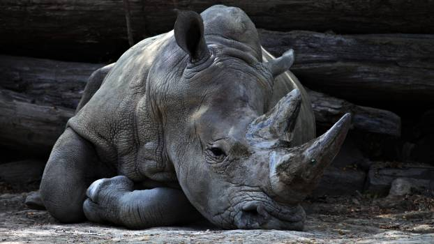 Hippopotamus Elephant Mammal #156290