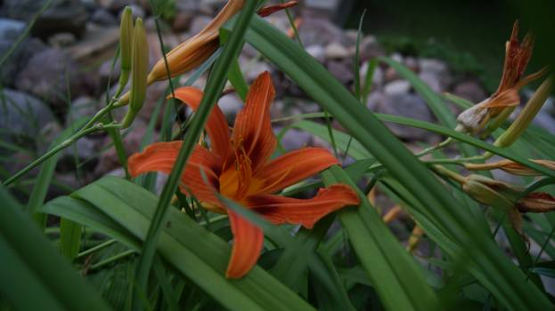 Day-lily Lily Bulbous plant #156430