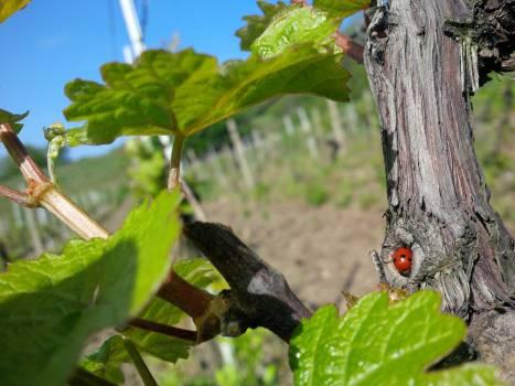 Leaf Plant Beetle Free Photo