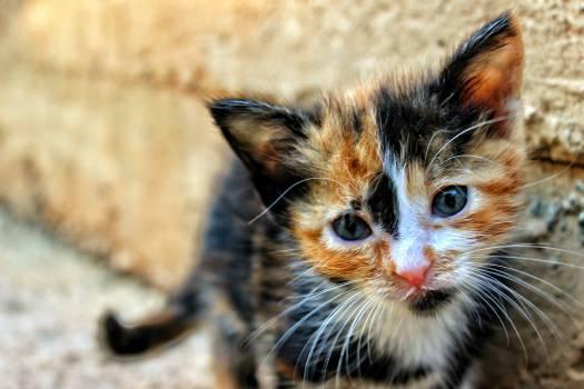 Kitten Cat Feline #15709