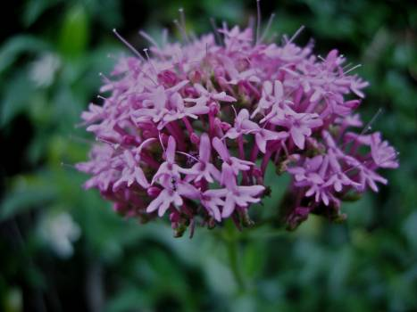 Pink Flower Clover Free Photo