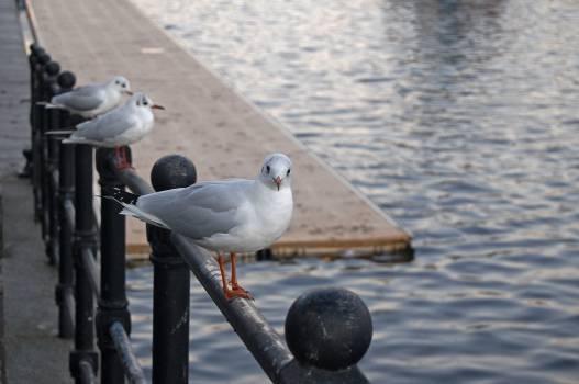 Gull Dove Bird #157303