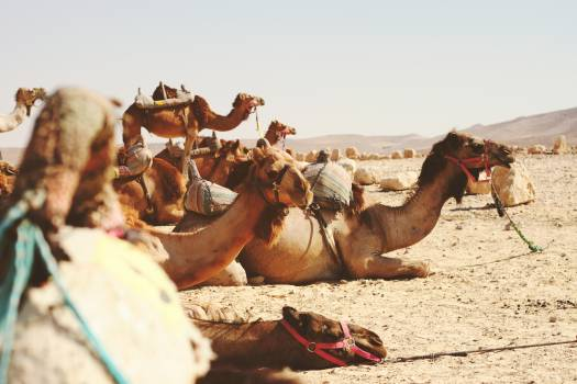Camel Ungulate Desert Free Photo