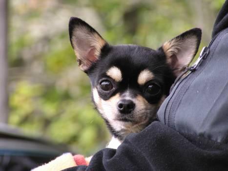 Chihuahua Dog Toy dog #157861