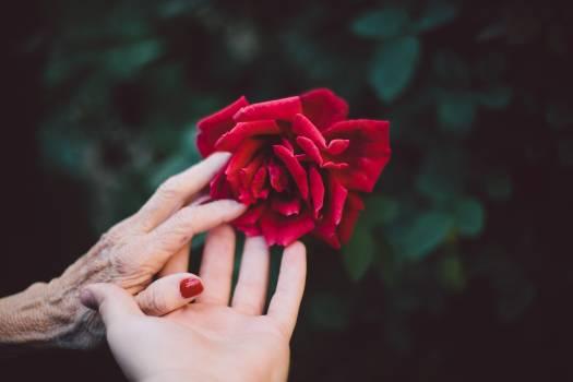 Petal Rose Shrub Free Photo