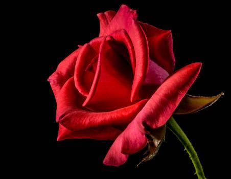 Bud Rose Pink #15807