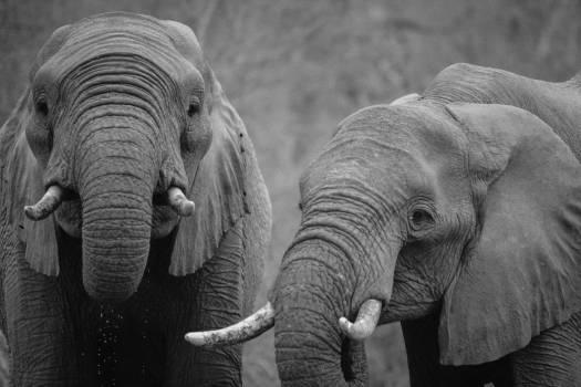 African elephant Elephant Mammal #15816