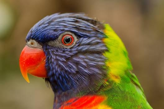 Lory Parrot Lorikeet #15836