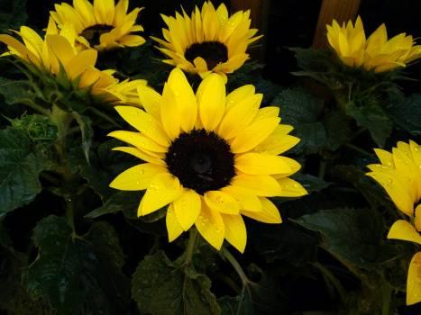 Sunflower Flower Yellow #158415