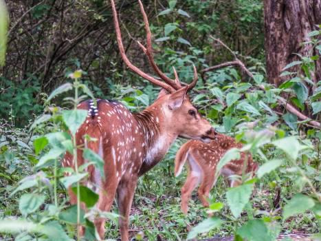 Deer Animal Mammal Free Photo