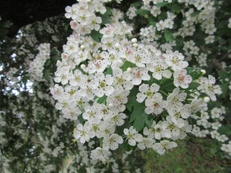 Flower Lilac Floral #158701