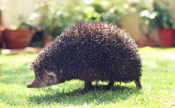 Rodent Porcupine Mammal #15876