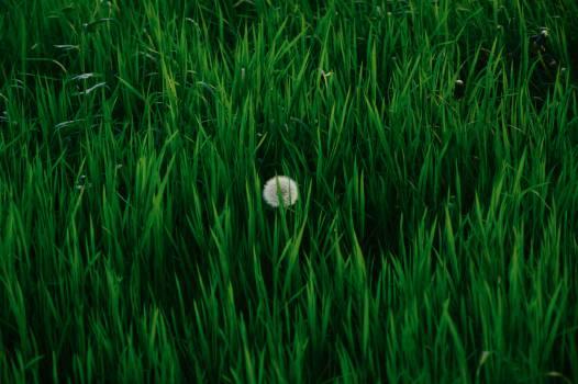 Grass Plant Leaf #15911
