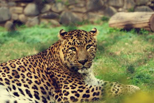 Jaguar Big cat Feline #159211