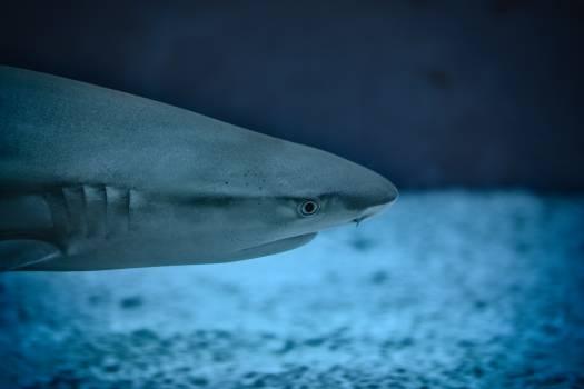 Tiger shark Shark Ray Free Photo