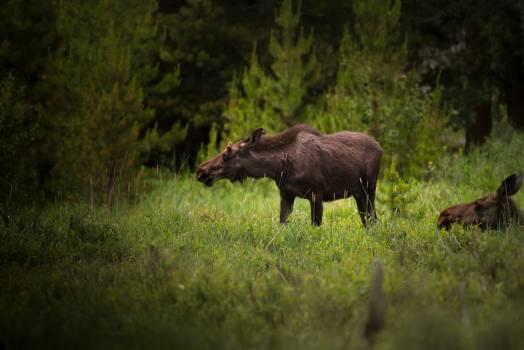 Bovid Bison Ruminant Free Photo