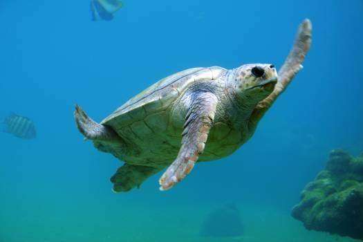 Loggerhead Sea turtle Turtle Free Photo