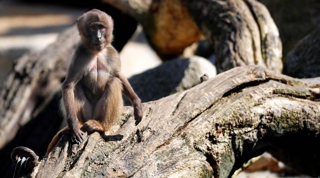 Monkey Primate Baboon #16019
