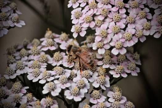Lilac Almond Flower Free Photo