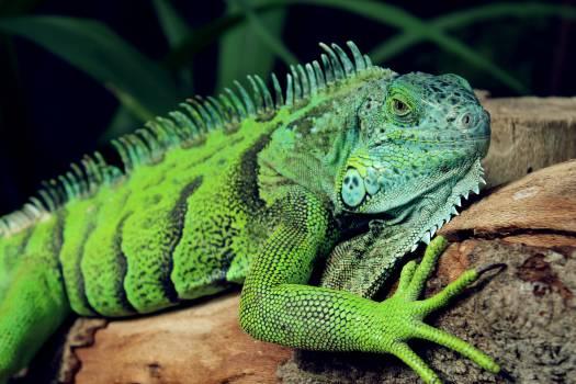 Lizard Common iguana Iguanid #16038