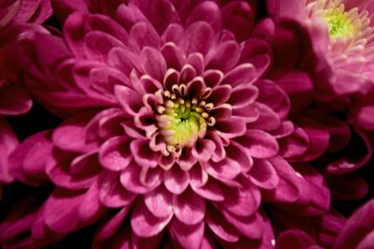 Flower Pink Petal #16055