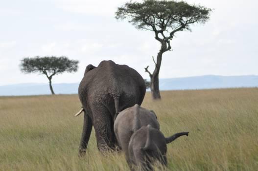 Mammal Elephant Tusker #16057