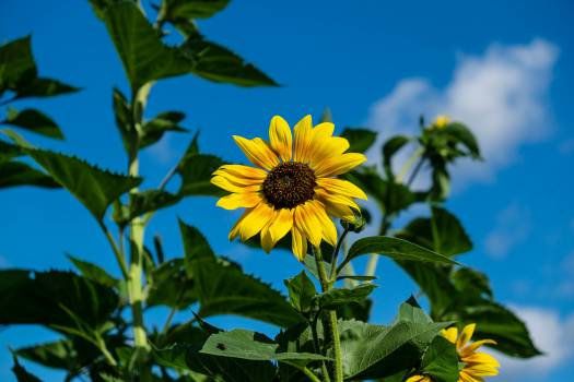 Sunflower Flower Yellow #16062