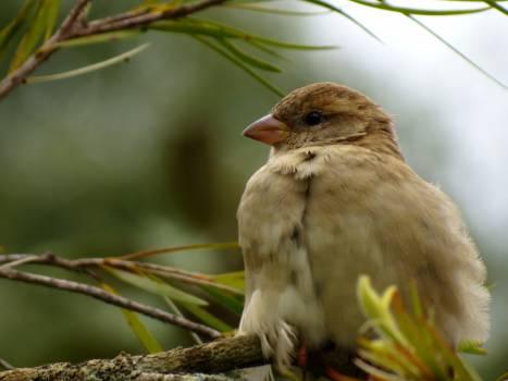 House finch Finch Bird #16085