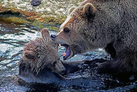 Brown bear Bear Wild boar #16095