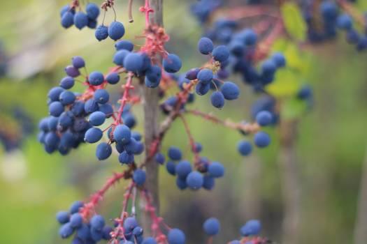Fruit Grape Berry #161364
