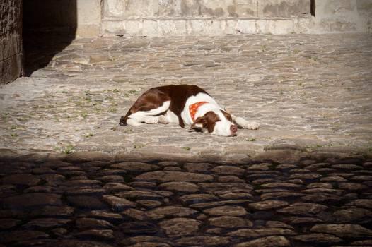 Dog Hound Hunting dog Free Photo