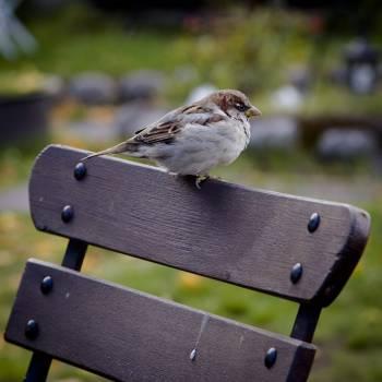 Dove House finch Finch #16155