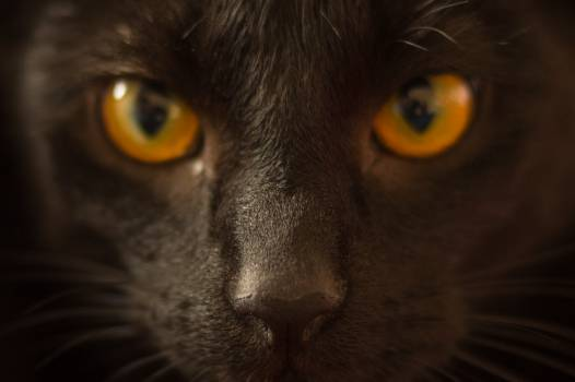 Siamang Ape Black #16215