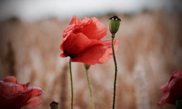 Bud Flower Poppy Free Photo