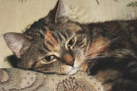 Cat Tabby Feline #16238
