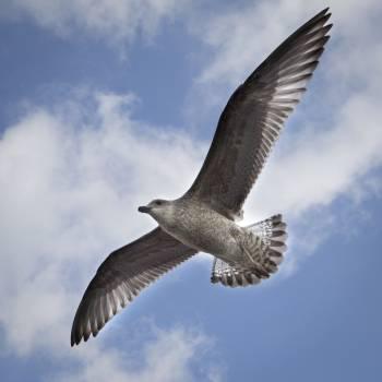 Kite Bird Hawk #16256