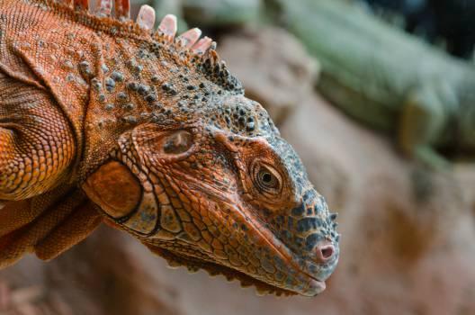 Lizard Frilled lizard Chameleon #16287