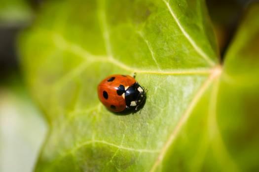 Ladybug Beetle Insect #162946