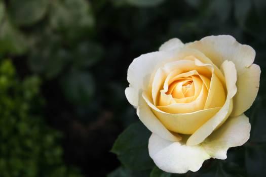 Rose Shrub Flower Free Photo