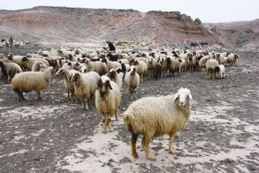 Simpleton Sheep Farm Free Photo
