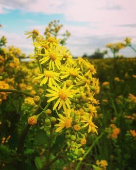 Sunflower Flower Yellow #163249