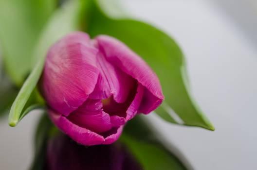 Rose Pink Bud #16328