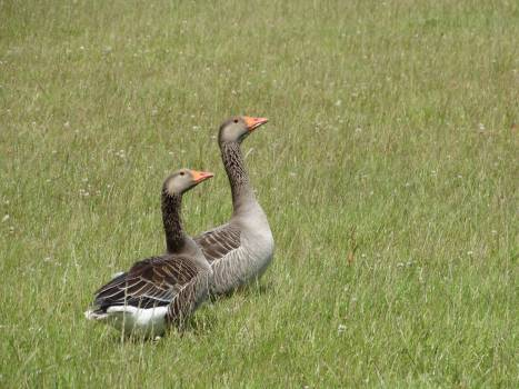 Goose Waterfowl Bird #163443