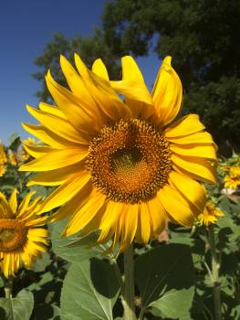Sunflower Flower Yellow #163563