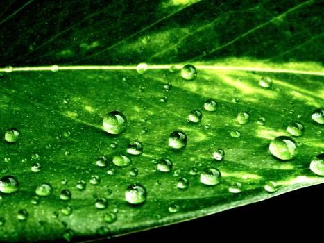 Drop Leaf Rain #16360