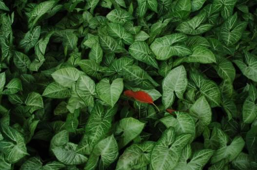 Greens Lettuce Basil Free Photo