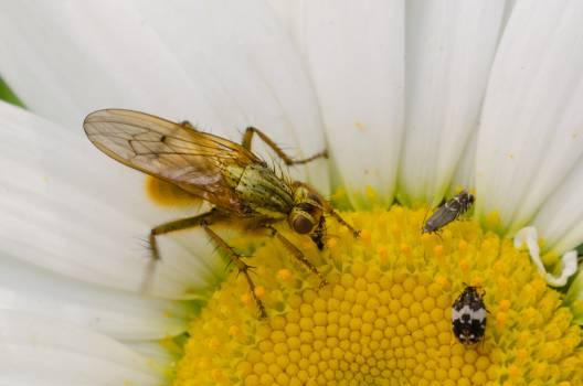 Insect Fly Arthropod #16368